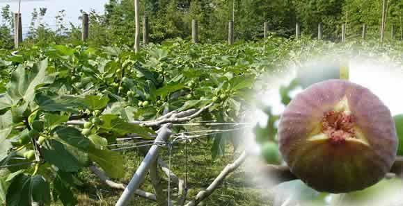 タキ・ファームの棚栽培によるいちじく農園
